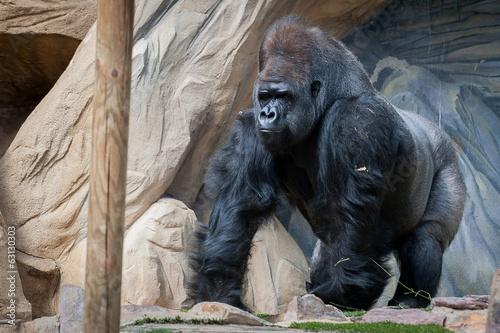 Foto op Canvas Aap Gorille des plaines