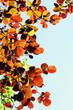 Постер, плакат: burgundy spring foliage on alder