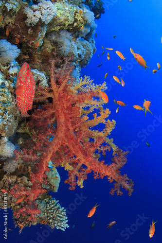 Red Soft Corals and Grouper Fish on underwater Reef