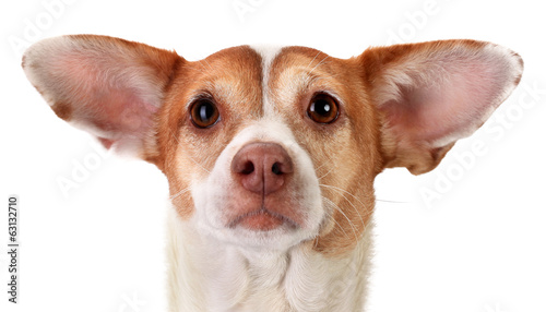 Focused mongrel dog with big ears