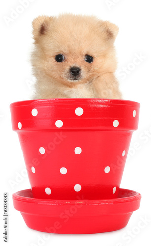 Pomeranian puppy small dog peeps from red flowerpot