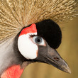 Crowned crane with a human eye