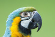 Macaw parrot with a human eye