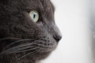 closeup portrait of british shorthair cat