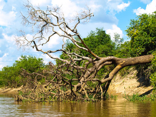 Fallen tree at amazonian river bay
