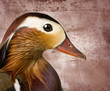 Mandarin duck in front of a Brown