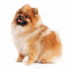 Cute little pomeranian red color