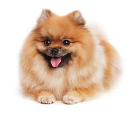 Spitz puppy lies