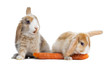 canvas print picture Rabbits eating a carrot