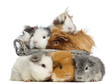 Group of guinea pig in a basket and three are lying in front of