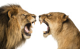 Close-up of a Lion and Lioness roaring at each other - 63137701