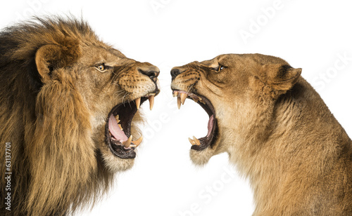 Leinwanddruck Bild Close-up of a Lion and Lioness roaring at each other