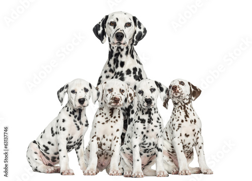 Mother Dalmatian sitting behind her puppies