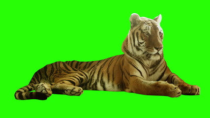 Tired tiger lying on green screen.