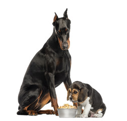 Doberman Pinscher sittingand looking down at a beagle puppy