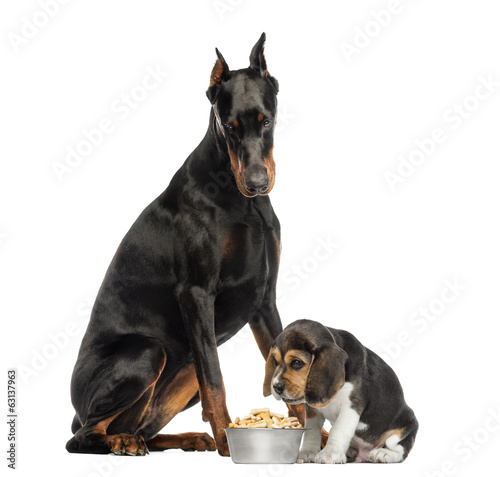 Doberman Pinscher sittingand looking down at a beagle puppy