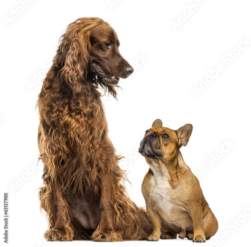 French Bulldog sitting and looking up at an Irish Setter
