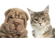 Close-up of a Maine coon kitten and Shar Pei puppy
