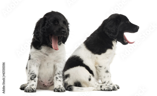 Stabyhoun puppies sitting and yawning
