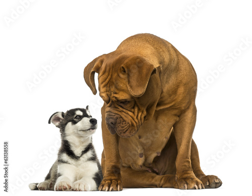 Dogue de Bordeaux sitting and looking at a husky malamute lying