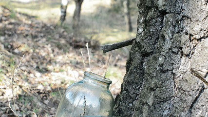 collect birch sap