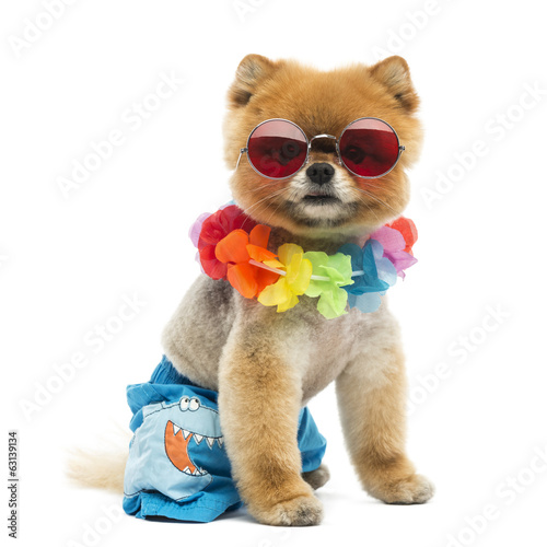Pomeranian dog sitting, wearing shorts and Hawaiian lei