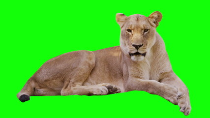 Sleepy lioness yawns on green screen