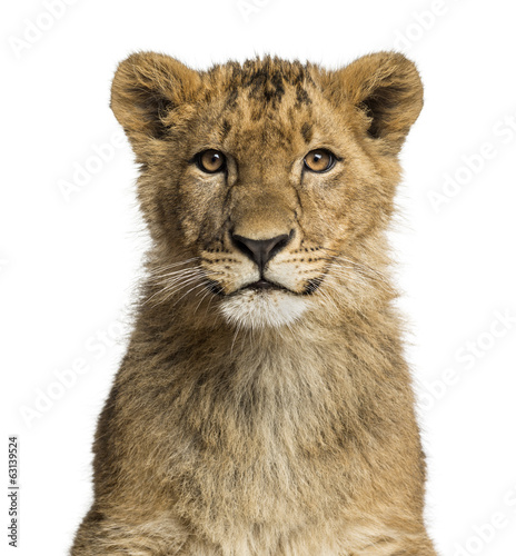 canvas print picture Close-up of a Lion cub looking at the camera
