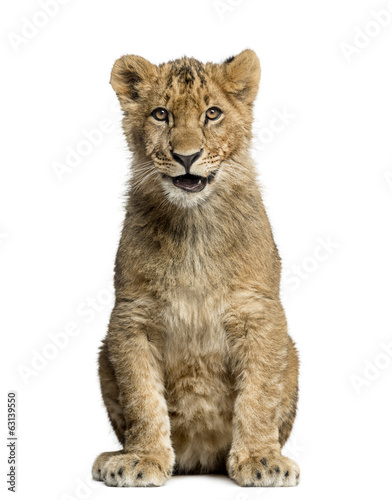 Lion cub sitting, smiling and looking at the camera