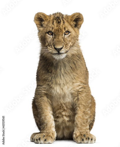 Lion cub sitting and looking at the camera