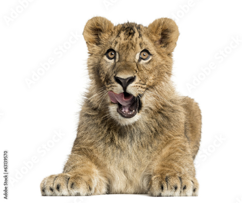 canvas print picture Lion cub lying and looking greedily
