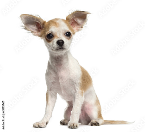 Chihuahua puppy sitting and looking away