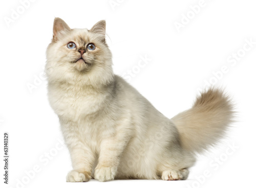 Birman sitting and looking up