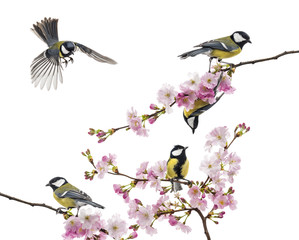 group of great tit perched on a flowering branch, Parus major