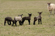 Ewe, Suffolk x Scottish Mule, running towards lambs