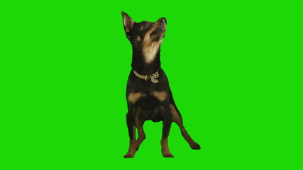 Standing black small dog looks arround on green screen.