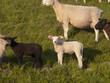 Lamm mit weiteren Schafen