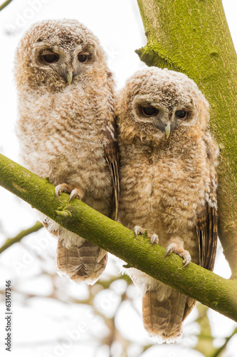 two newborn Tawny Owls