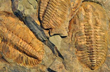 Petrified Fossils - Trilobite