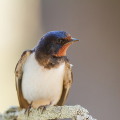 close-up Barn swallow