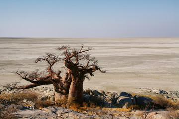 Baobabs on Kubu island in winter