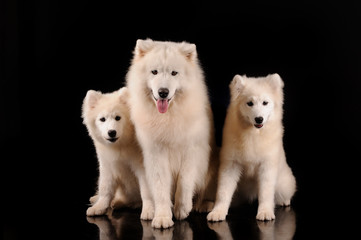 Samoyed dogs isolated on black background