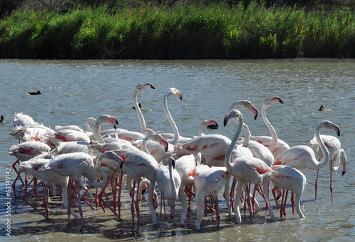 Fotobehang Flamingo Fenicotteri in Camargue