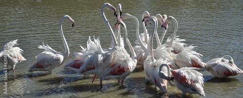 Foto op Plexiglas Flamingo Fenicotteri in Camargue