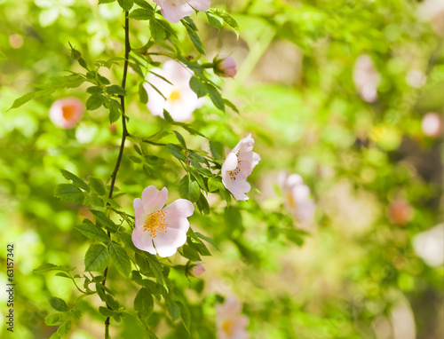 Blooming wild rose