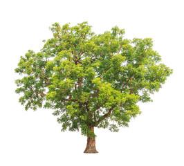 Neem plant (Azadirachta indica), tropical tree in Thailand