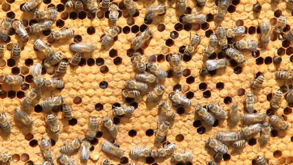 swarm of bees produce honey