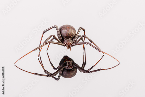 Australian Female Redback Spider with reflection