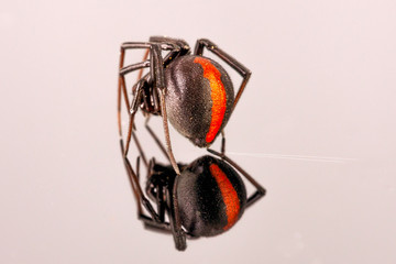 Australian Female Redback Spider with RED stripe