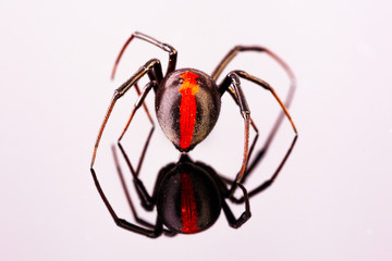 Australian Female Redback Spider walking away